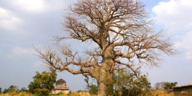 Baobab Trees Trace African Diaspora Across the Indian Ocean